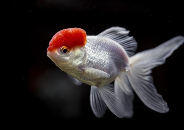 Золотая рыбка: виды аквариумных рыбок. 404211.jpeg