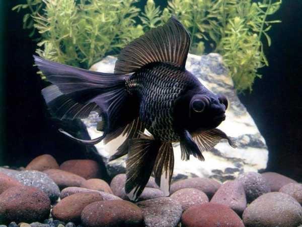 Золотая рыбка: виды аквариумных рыбок. 404212.jpeg
