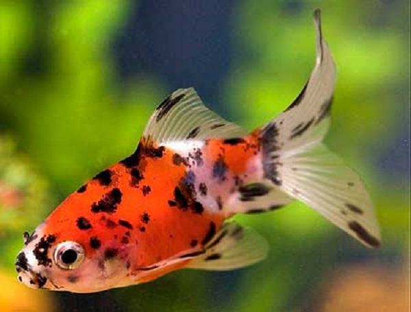 Золотая рыбка: виды аквариумных рыбок. 404213.jpeg