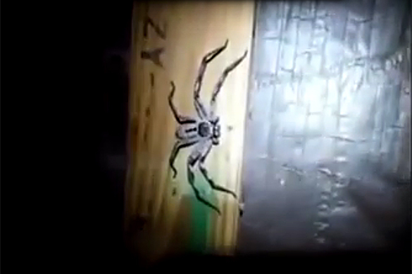 Видео большой паучихи с паучатами напугало соцсети