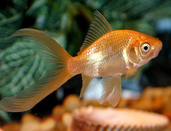 Золотая рыбка: виды аквариумных рыбок. 404215.jpeg