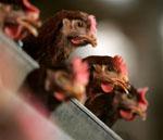 """""""Птичий грипп"""" не мешает производству мяса птицы и яйца"""