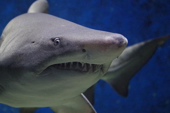 Акулью жизнь измерили ученые. 376223.jpeg