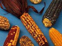 Кукурузные початки спасут японскую землю от радиации. 259230.jpeg