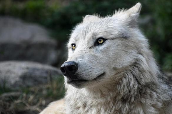 Редкий специалист: пиарщика с душой волка ищут в Белоруссии. 388230.jpeg