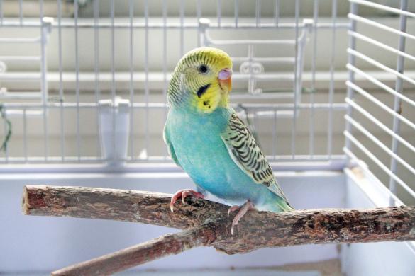 Руководство по обучению попугаев для начинающих. Часть 1. 394235.jpeg