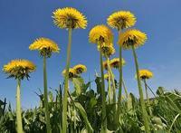 Знаменитым британским газонам угрожают сорняки