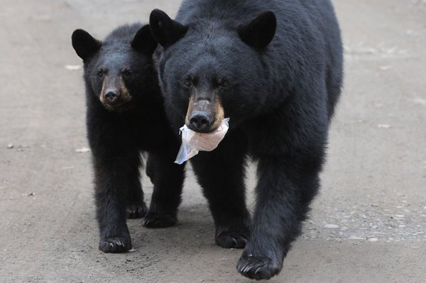 Черные медвежата во всех мусорных баках штата Аляска: как звери ищут пищу в городах. 317243.jpeg