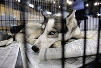 Южнокорейские ученые вырастили собак-мутантов