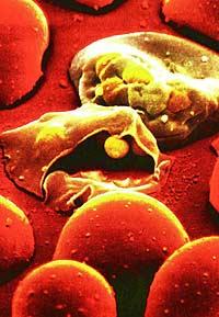 Малярийных паразитов ждет смерть от голода