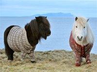 Шотландия завлекает туристов одетыми в свитера пони. 280248.jpeg