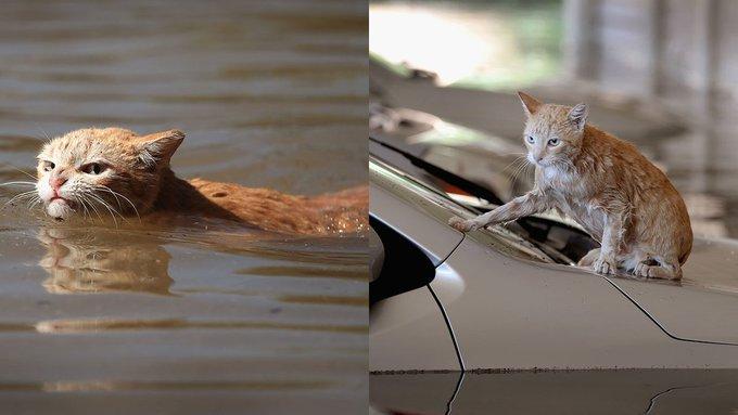 Злой из-за наводнения рыжий кот стал мировым мемом. Злой из-за наводнения рыжий кот стал мировым мемом