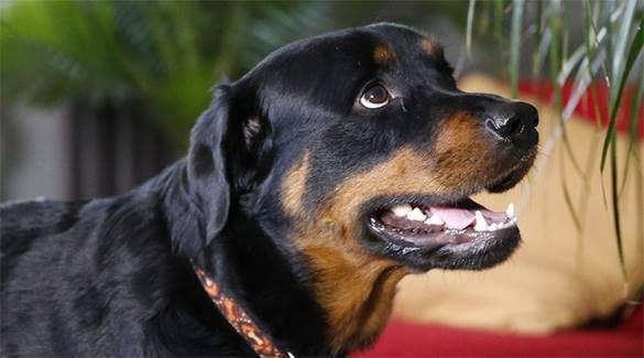 Американские копы вымещают свою злобу на собаках: в Паско убит охранявший частный дом ротвейлер.ВИДЕО. 318252.jpeg