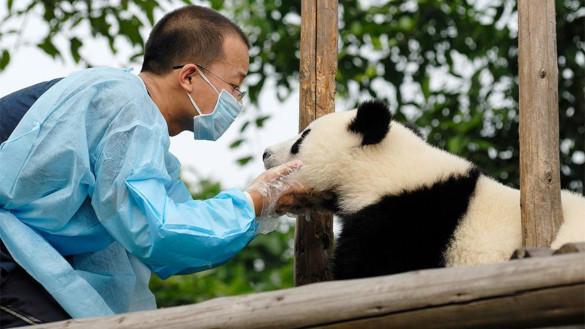 Туристы в Китае больше не смогут фотографироваться с пандами. 394252.jpeg