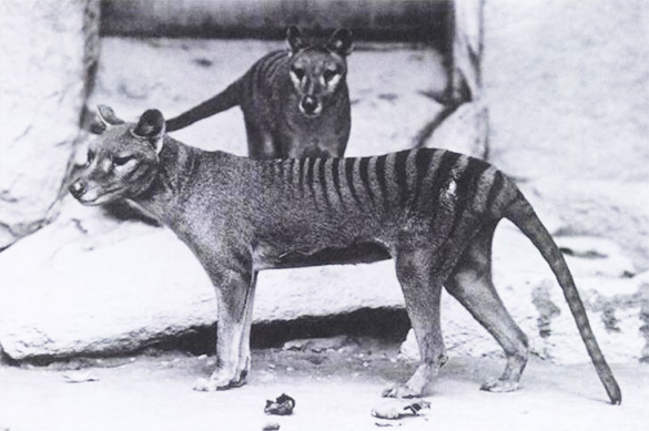 Вымерших тасманийских волков засекли в Австралии