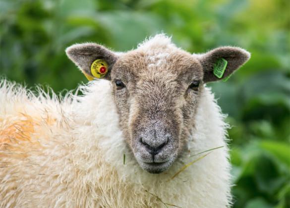 Украинские волонтеры спасли стадо овец. 394256.jpeg