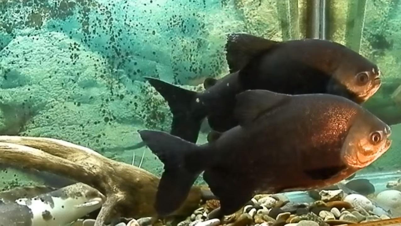 Рыбаков из США напугала рыба с человеческими зубами