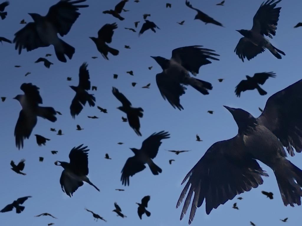 Голландских ворон научать убирать окурки с улиц. Голландских ворон научать убирать окурки с улиц