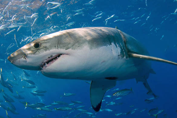 В египетской Хургаде белые акулы атакуют туристов. 373268.jpeg