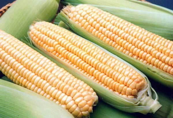 Еврокомиссия пополнила список безопасных с ее точки зрения ГМО. кукуруза