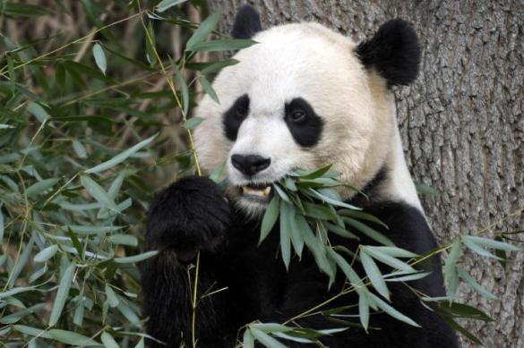 Китайские панды не всегда были зависимы от бамбука - ученые. 398277.jpeg