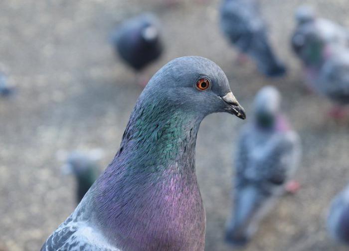 Орнитологи сделали птицам МРТ мозга без наркоза. Голубь