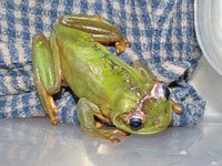 Австралийские ветеринары сшили разрезанную лягушку