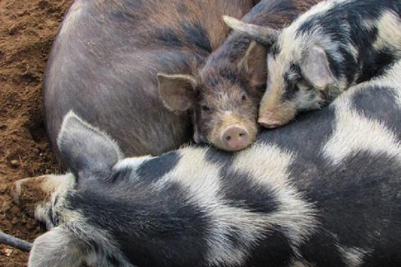 Мозг свиньи подает признаки жизни спустя несколько часов после смерти. 403285.jpeg