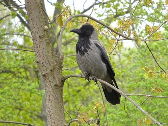 Удивительная птица ворона. 394288.jpeg