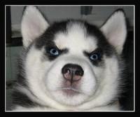 В Красноярске бродячие собаки растерзали женщину на глазах