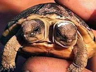 В Южной Африке найдена черепаха с двумя головами