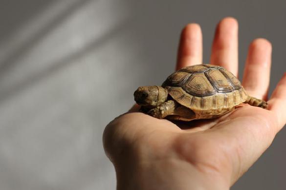 Сбежавшая из дома черепаха проползла 300 метров за полгода. Сбежавшая из дома черепаха проползла 300 метров за полгода