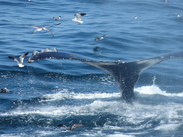 В Японии начинается сезон массового убийства китов. Япония открывает сехон охоты на китов
