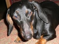 Самой старой в мире собаке стукнул 21 год