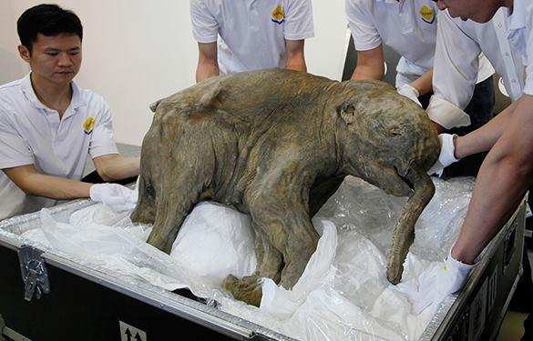 Ученые приблизились к клонированию мамонта. Мамонтенок