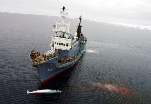 В Японии начинается сезон массового убийства китов. Убийство китов