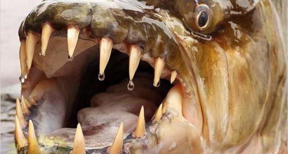 Огромная тигровая акула в реке Конго. 394312.jpeg