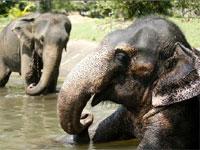 Дикие слоны атакуют индийские деревни