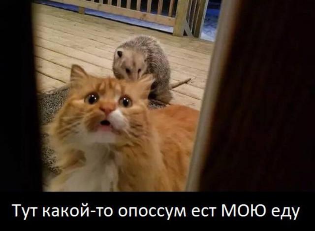 Кот, которого нагло обворовал опоссум, стал звездой Интернета. Кот, которого нагло обворовал опоссум, стал звездой Интернета