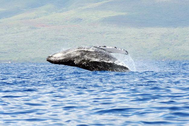 У берегов Чили погибли почти 40 китов: ученые не понимают причин. 319317.jpeg