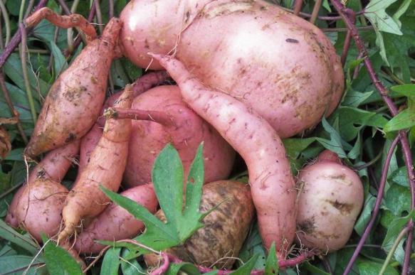 Сладкий картофель вырос в Гондване. 387320.jpeg