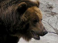В поисках пищи медведь забрел к уголовникам. 247322.jpeg