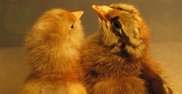 При пожаре под Новосибирском погибли 12 тысяч цыплят. 315322.jpeg