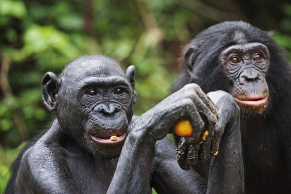 Шимпанзе распознают лица как люди