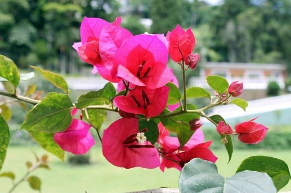 Бугенвиллия садовая: выращивание и уход. 397325.jpeg