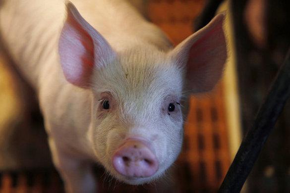 Оптовые цены на свинину уже снизились. Оптовые цены на свинину уже снизились
