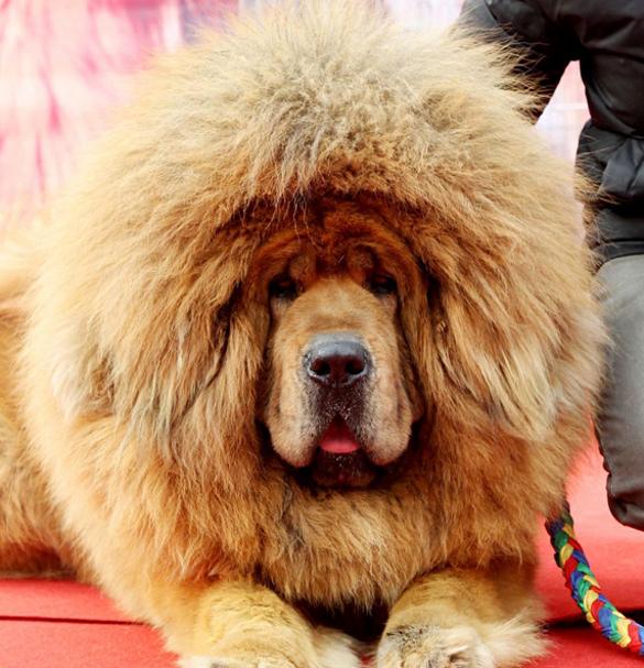 Пожилой китаец завещал свои капиталы любимой собаке