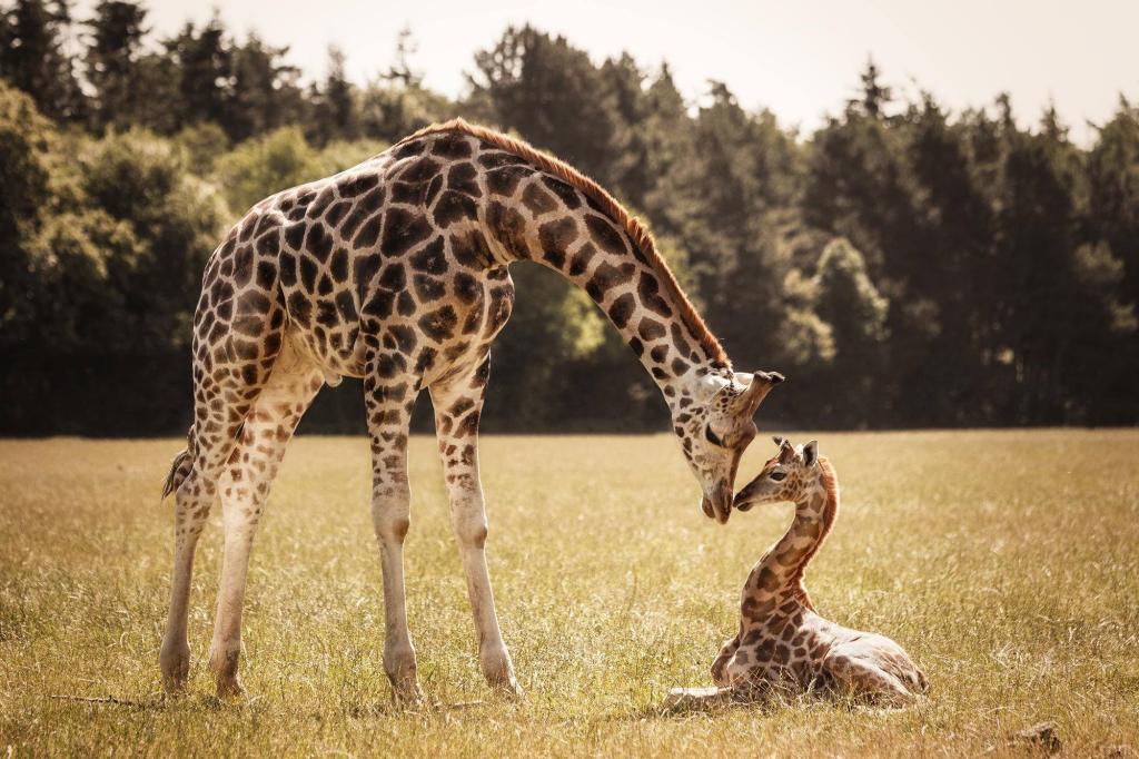 Длинная шея спасает жирафа от перегрева. Длинная шея спасает жирафа от перегрева