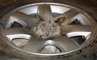 Сиамский кот застрял головой в колесе
