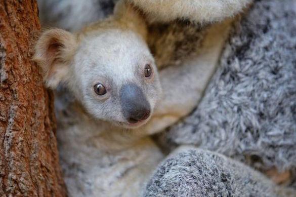 Редкая белая коала родилась в одном из зоопарков Австралии. 374333.jpeg